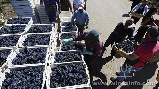chile-tourist-grape-harvest_970492cc-327f-11e8-8c5f-3c6cc031651e.jpg